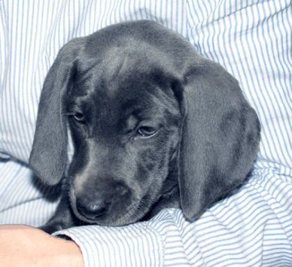 Cuddle - short hair blue Weimaraner puppy