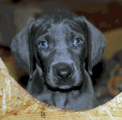 Magnificent blue Weimaraner puppy in the 6th Week