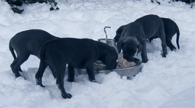 ... after a few weeks the puppies eat too happy times in the snow.