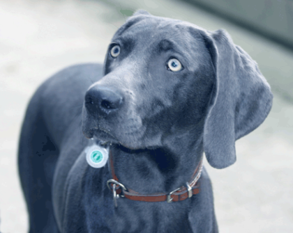 ... always a questioning look human - but it is an exceptional Blue Weimaraner!